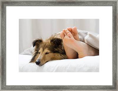 Sheltie Sleeping With Her Owner Framed Print
