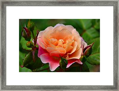 Sherbet Rose Framed Print by Bonnie Myszka
