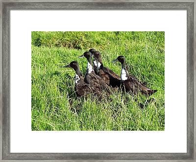 Shetland Ducks Framed Print by George Leask