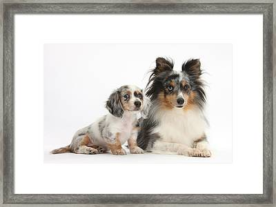 Shetland Sheepdog And Dachshund Puppy Framed Print by Mark Taylor