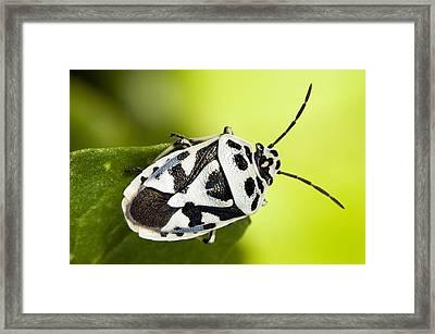 Shield Bug Framed Print by Paul Harcourt Davies
