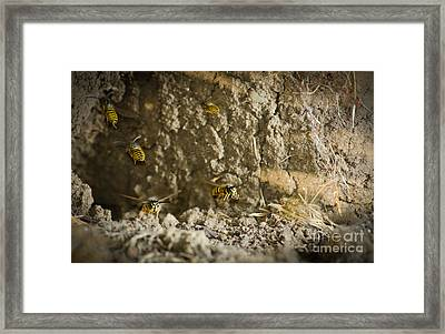 Shift Change Yellow-jacket Wasps Flying Out To Forage As Others Return To The Nest Framed Print by Andy Smy