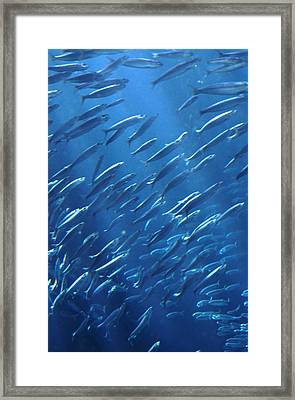Shoal In Sea Framed Print by John Foxx