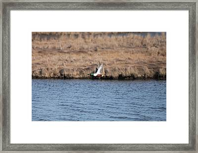 Sholver Flying Framed Print
