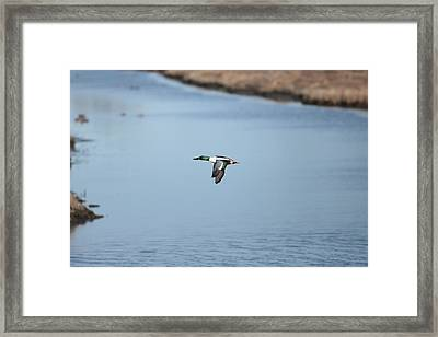 Sholver Flying2 Framed Print