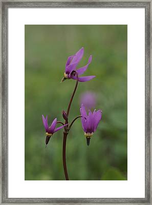 Shooting Star Wildflowers, Close View Framed Print by Norbert Rosing