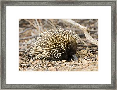 Short-beaked Echidna Framed Print by Matthew Oldfield
