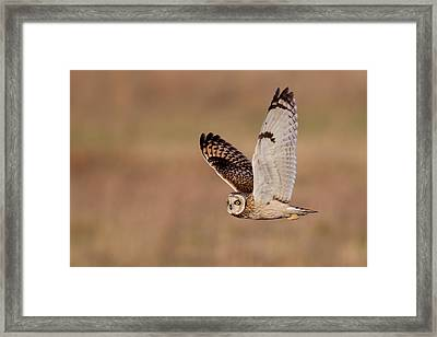 Short-eared Owl Framed Print by Andrew Sproule
