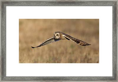 Short Eared Owl Hunting Framed Print