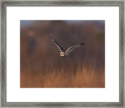 Short-eared Owl Framed Print by Photo by DCDavis