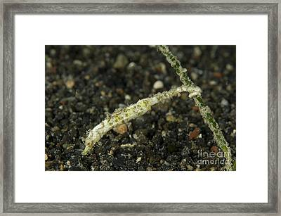 Shortpouch Pygmy Pipehorse Clinging Framed Print by Steve Jones