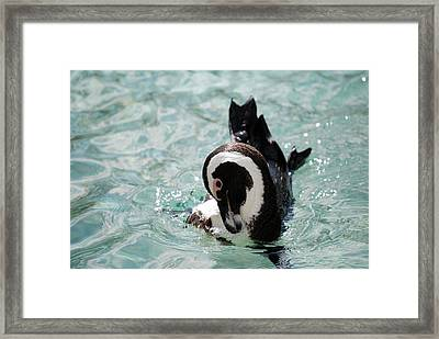 Framed Print featuring the photograph Show Off by Kathy Gibbons