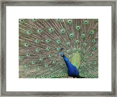 Show Off Framed Print by Sandi Blood