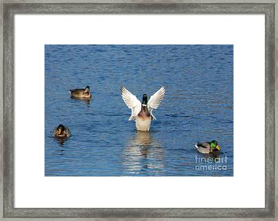 Framed Print featuring the photograph Showin Off by Mark McReynolds