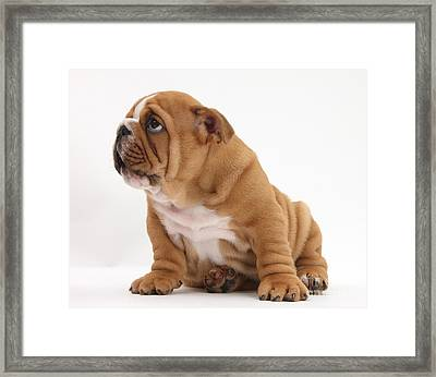 Shy Bulldog Pup Framed Print by Mark Taylor