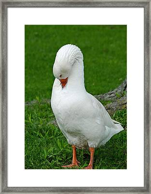 Shy Goose Framed Print by Lisa Phillips