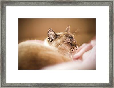 Siamese Cat Is Sleeping On Bed Framed Print by Lawren