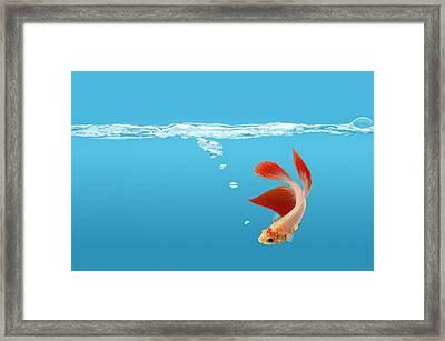 Siamese Fighting Fish Betta Splendens Framed Print by Don Hammond