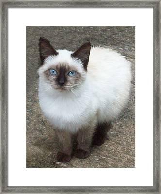 Siamese Kitten Framed Print by Lisa Williams
