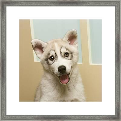 Siberian Husky Puppy In Front Of Door Framed Print