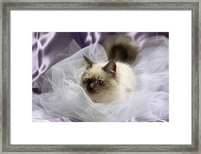 Siberian Kitty On Lilac Framed Print