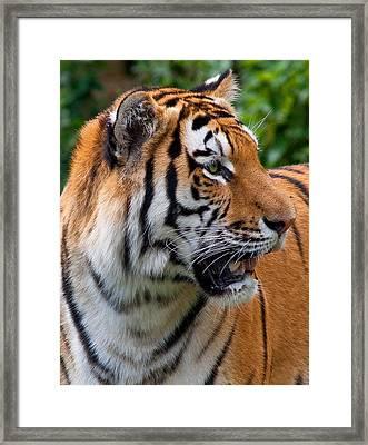 Siberian Tiger Framed Print by Cindy Haggerty