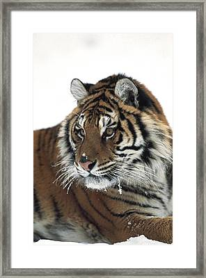Siberian Tiger Panthera Tigris Altaica Framed Print by David Ponton