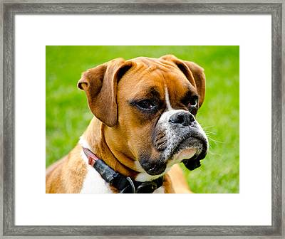 Sidney The Boxer Framed Print by Chris Thaxter