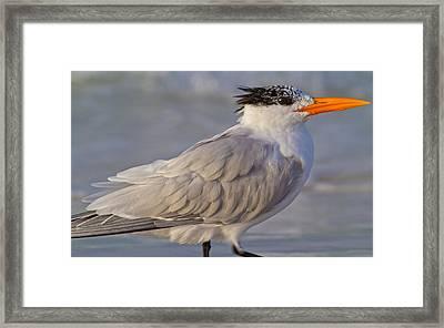 Siesta Key Royal Tern Framed Print by Betsy Knapp