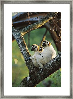 Sifaka Propithecus Sp Family Resting Framed Print by Cyril Ruoso