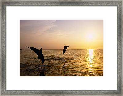 Silhouette Of Bottlenose Dolphins Framed Print by Natural Selection Craig Tuttle