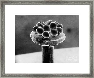 Silicon Beads, Head Of Pin, Sem Framed Print by Texas Instruments