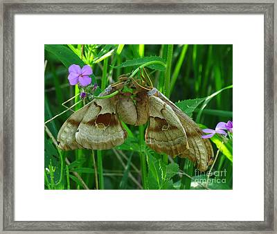 Silkmoth Love Framed Print by Deborah Johnson
