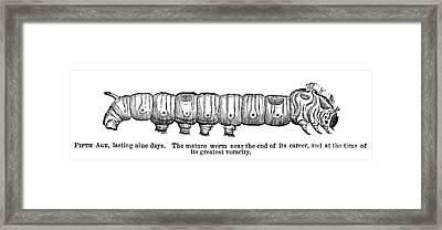 Silkworm Framed Print by Granger
