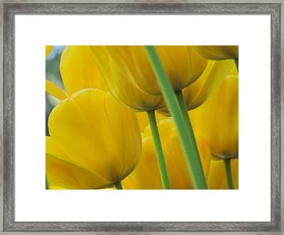 Silky Yellows Framed Print