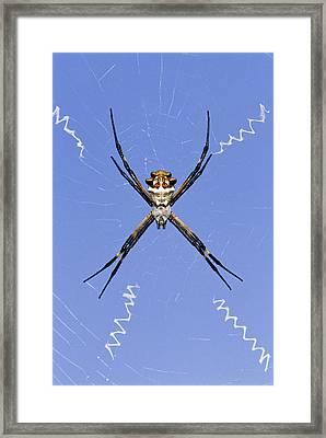 Silver Argiope Argiope Argentata Female Framed Print