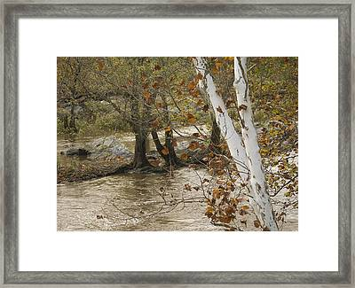 Silver Birch By Potomac Framed Print