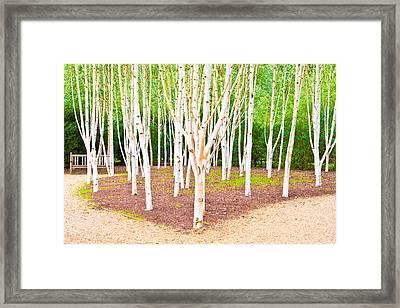 Silver Birch Trees Framed Print by Tom Gowanlock