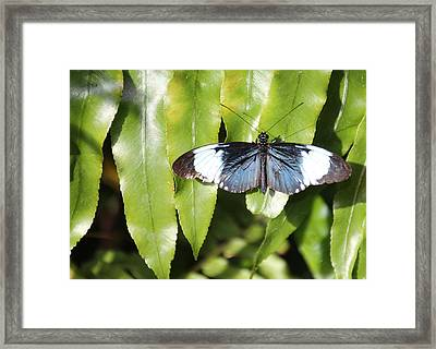 Silver Blue Butterfly Framed Print by Rosalie Scanlon