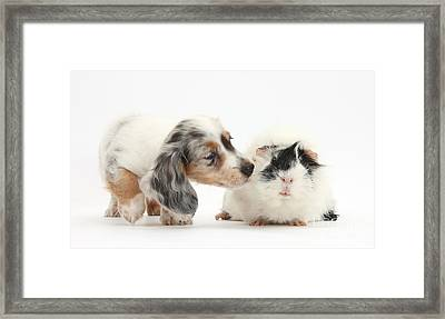 Silver Double Dapple Dachshund Pup Framed Print by Mark Taylor