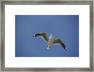 Silver Gull In Flight Framed Print by Jason Edwards