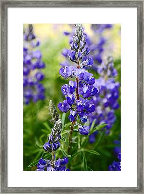 Silver Lupine Colorado Mountain Meadow Framed Print by The Forests Edge Photography - Diane Sandoval