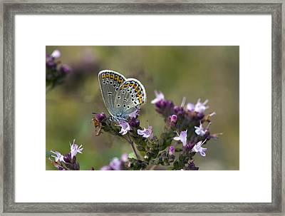Silver-studded Blue On Marjoram Framed Print by Bob Gibbons