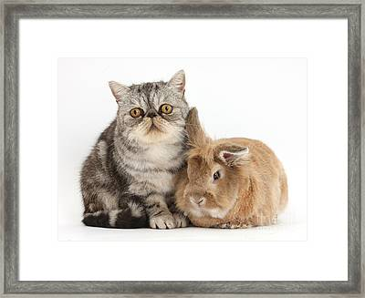 Silver Tabby Cat And Lionhead-cross Framed Print