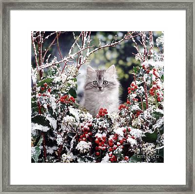Silver Tabby Kitten Framed Print by Jane Burton