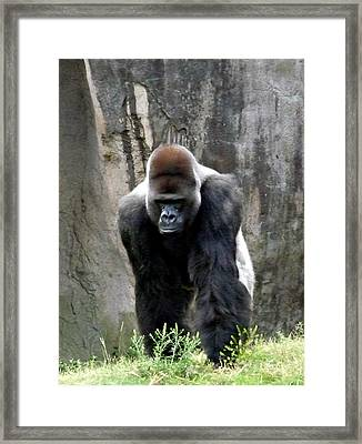 Framed Print featuring the photograph Silverback by Jo Sheehan