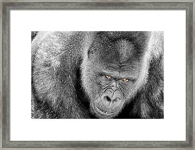 Framed Print featuring the photograph Silverback Staredown by Jason Politte