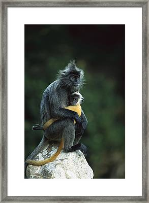 Silvered Leaf Monkey And Baby Framed Print by Cyril Ruoso