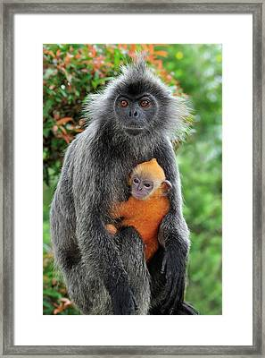 Silvered Leaf Monkey Trachypithecus Framed Print by Thomas Marent