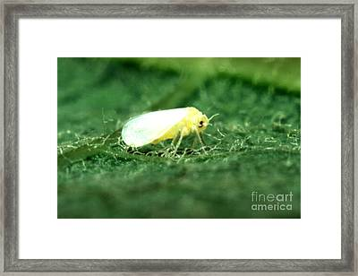 Silverleaf Whitefly Framed Print by Science Source